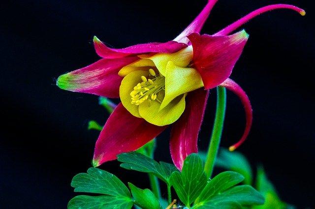 květ orlíčku