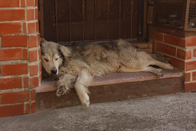 pes ležící u dveří